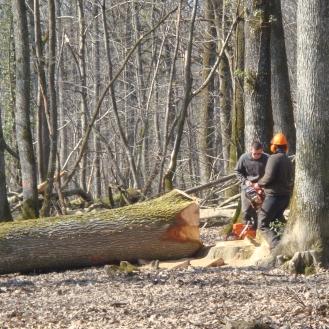 Le chêne à terre